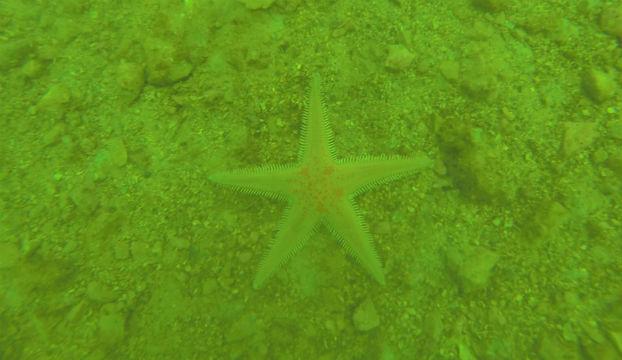 minerska_morska_zvjezda