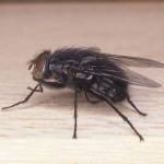 Nevjerojatno jednostavan trik da se riješite dosadnih muha iz svoga doma