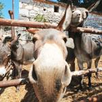 BIJELO ZLATO U BOCI: Za litru blagotvornog magarećeg mlijeka i do 600 kuna