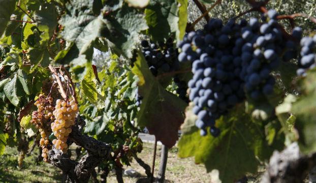 berba vinograd 1
