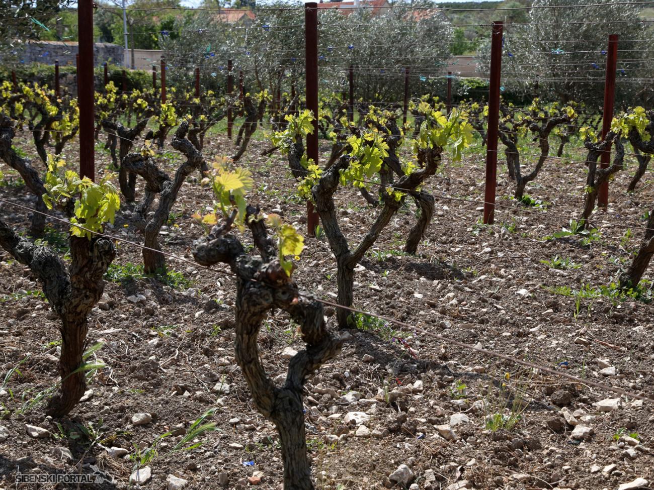 Stručnjaci savjetuju nastavak zaštite vinove loze od peronospore, pepelnice i...